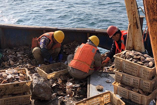 獐子岛员工:采捕方法错误 扇贝可能是呛死的