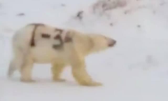 战斗民族的疯狂?俄罗斯有人给北极熊喷上苏联坦克名字